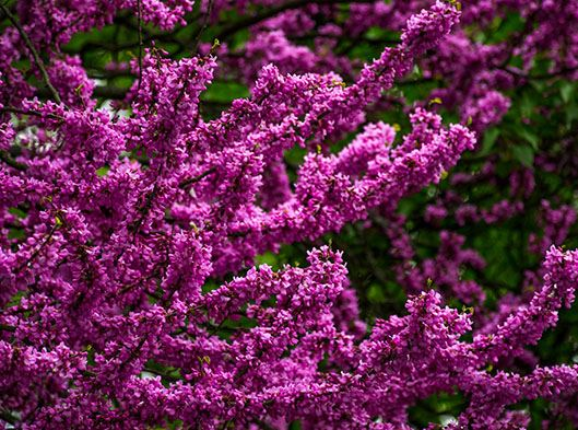 Redbud Tree in Full Bloom